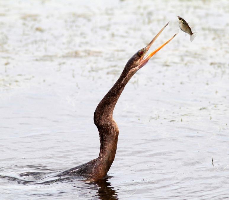 Anhinga Spear Fishing