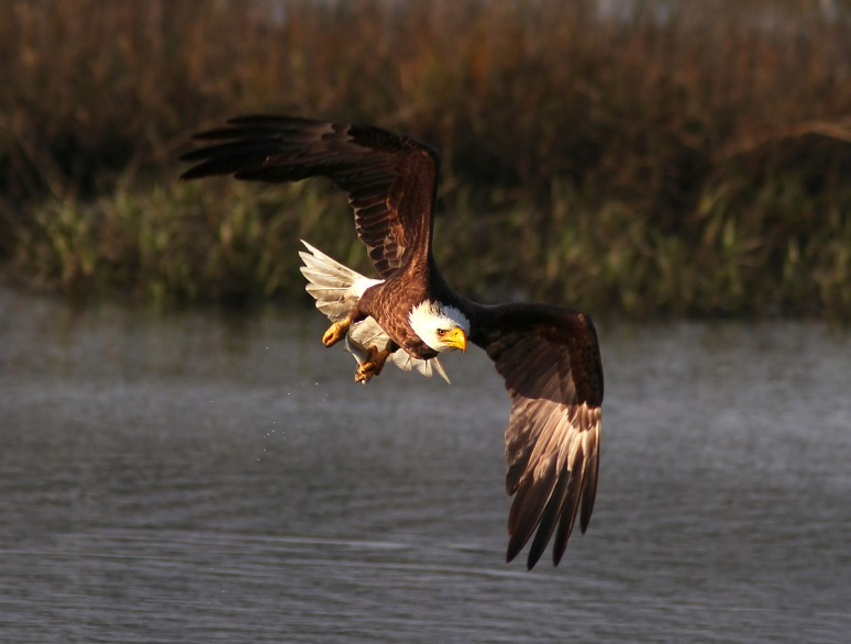 Bald Eagle Fishing in the Marsh