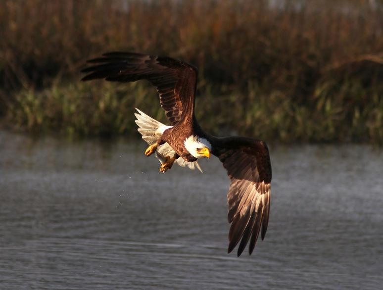 Bald Eagle Fishing in the Marsh