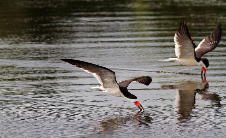 Black Skimmers Working the Marsh