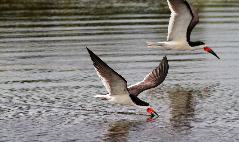 Black Skimmers Working the Marsh