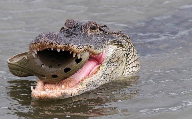 Gator vs Croc