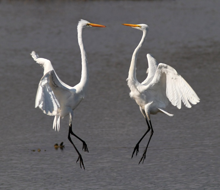 Egret Battle in the Marsh