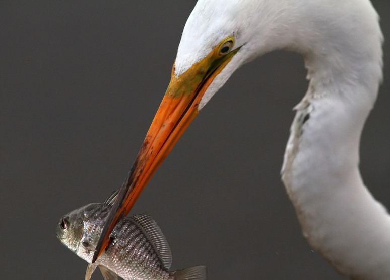 Egret Fishing Close