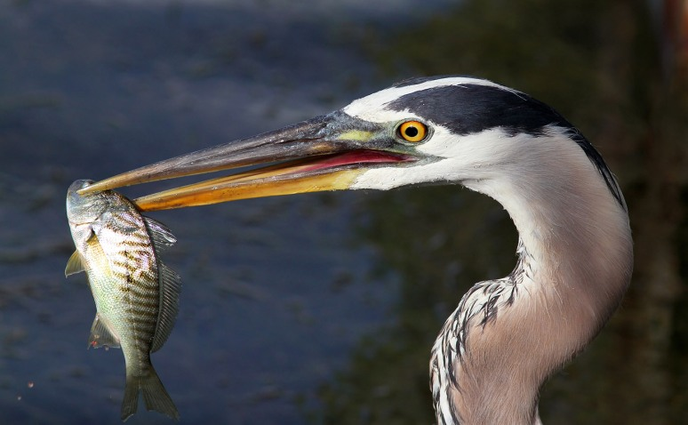 GBH Fishing Late In The Marsh