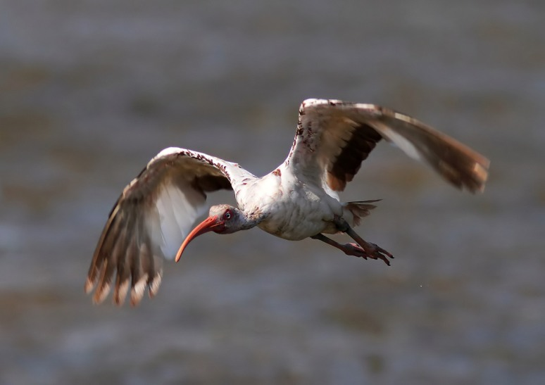Juvie Ibis Flight Over the Marsh Pond