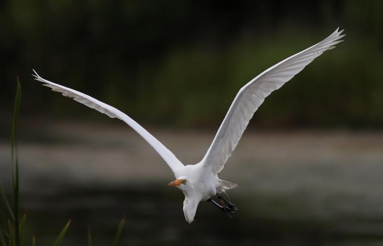Late Evening Egret Flight