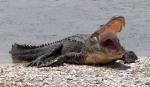 Mr Alligators Morning