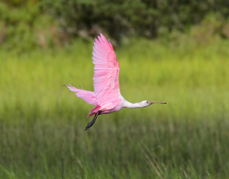 Spoonbill Evening Flight
