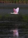 Spoonbill Flight Across the MarshPond