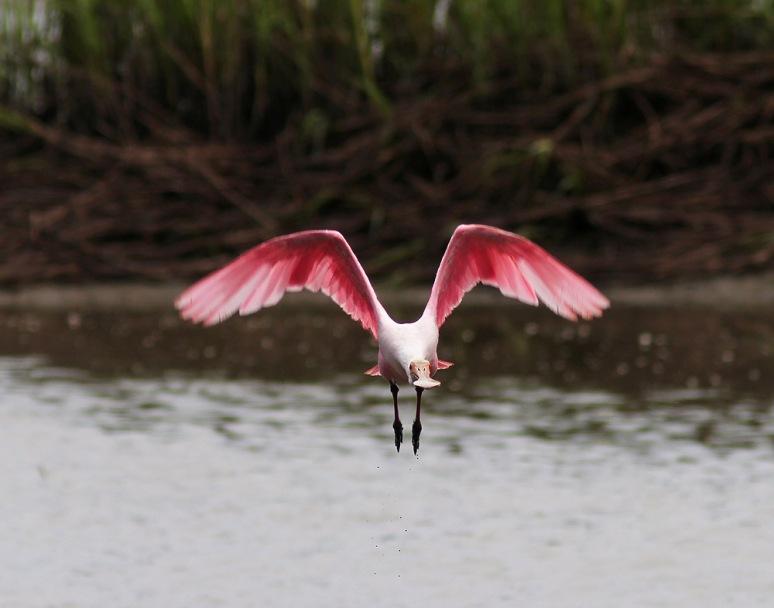 Spoonbill Morning Flight