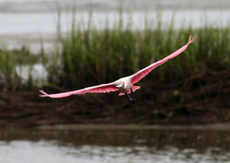 Spoonbill Morning Flight