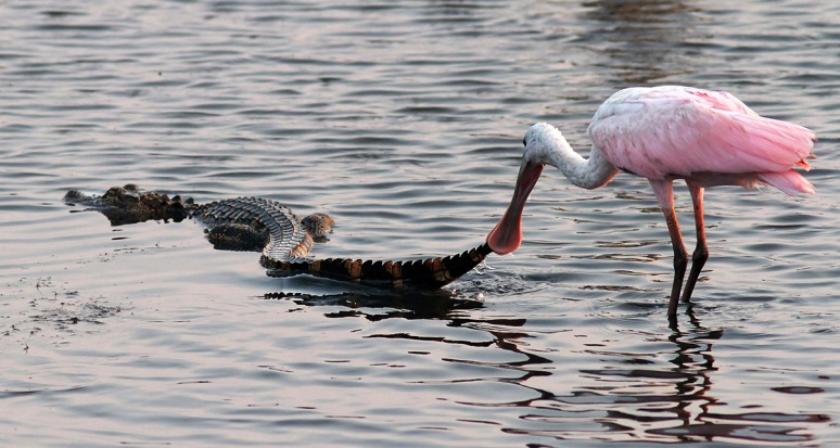 Spoonbill Picks Up Alligator Tail