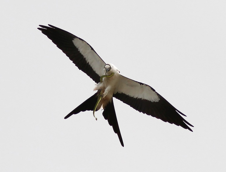Swallow-tailed Kite With Snake