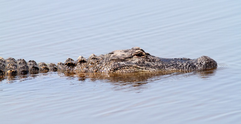 Unhappy Gator in Marsh Pond