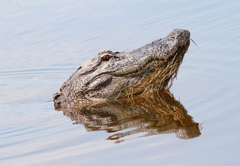 Unhappy Gator in Marsh Pond