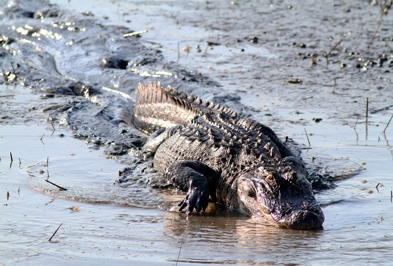 Alligator Hunting in Salt Marsh