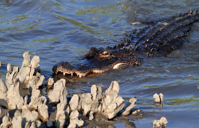 Alligator Hunting in Salt Marsh