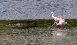 Alligator Ibis Spoonbill