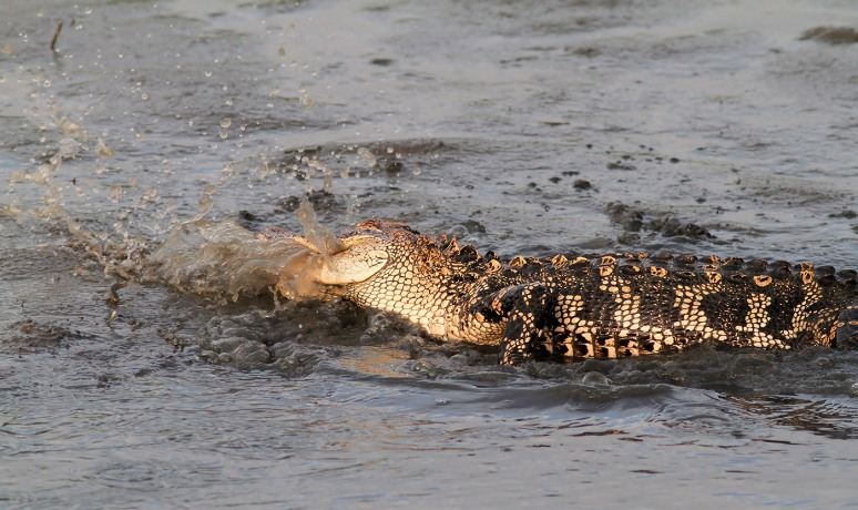Alligator Playing Water