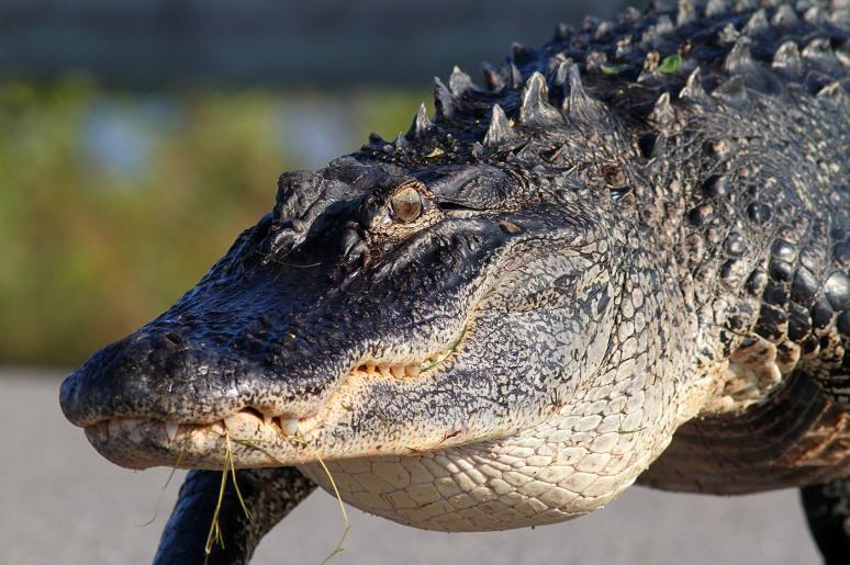 Alligator Walks Out Of Marsh Pond