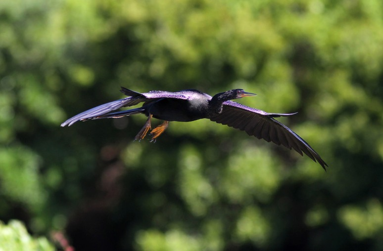 Anhinga Flying In