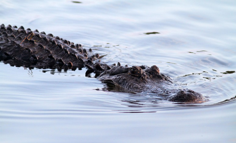 Big Alligators in the Marsh Pond Late