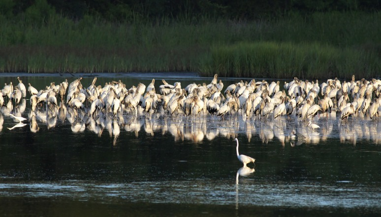 Big Group of Wood Storks