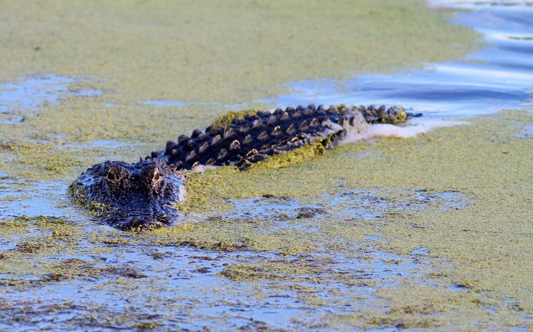 Gator Sneaking Around The Marsh
