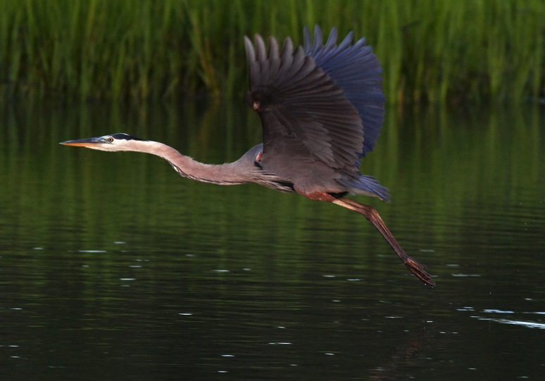 Great Blue Heron Evening Flight