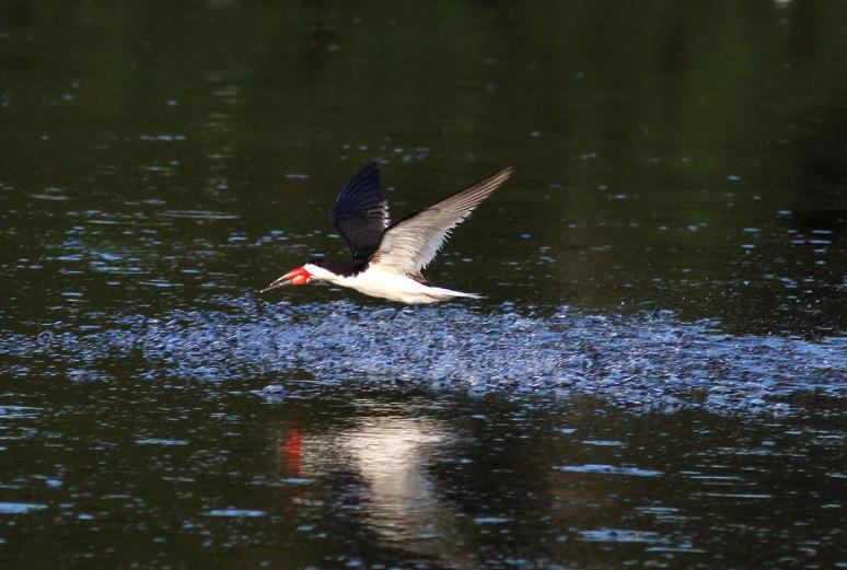 Morning Skimmer in the Marsh Pond