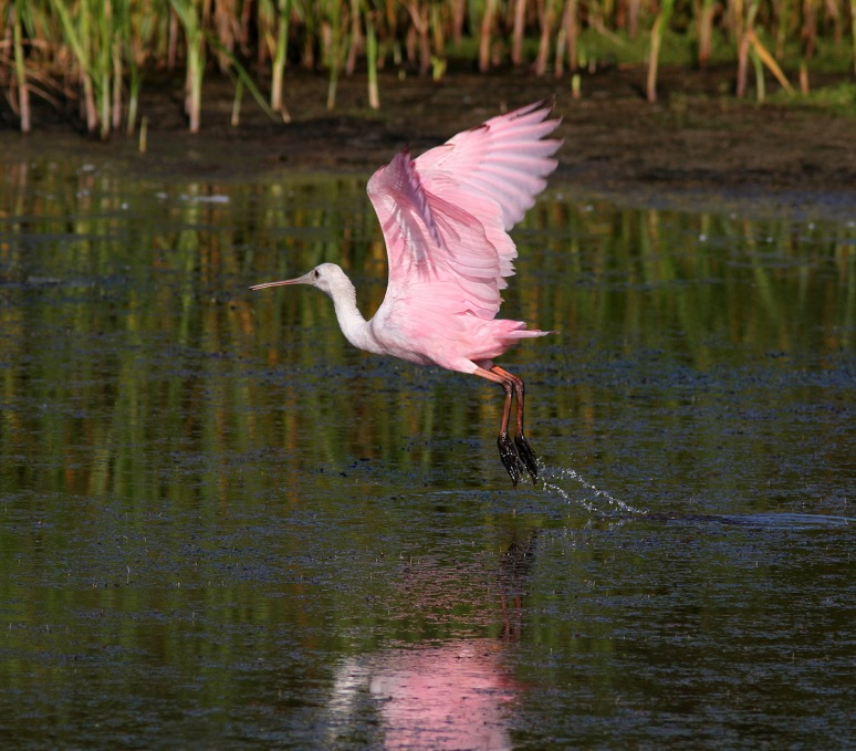 Spoonbill Morning Takeoff