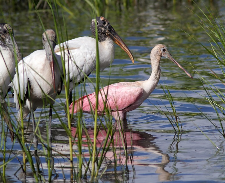 Spoonbills Feeding in Salt Marsh