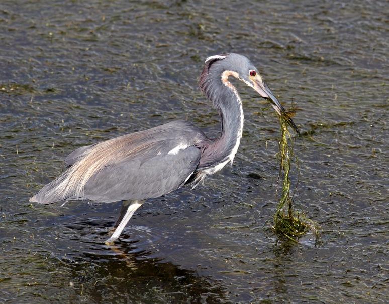 Tricolored Heron Fishing in Marsh Grass