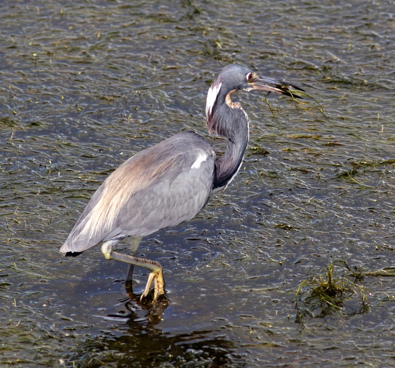 Tricolored Heron Fishing in Marsh Grass