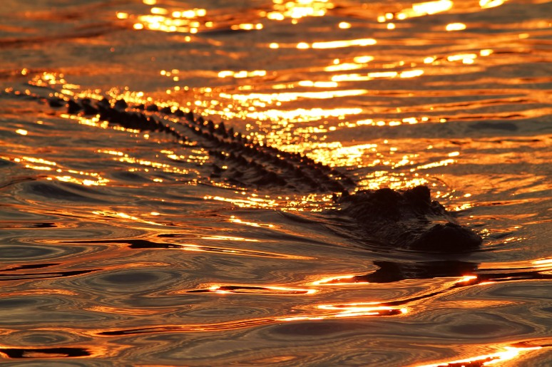 Alligator at Sunset