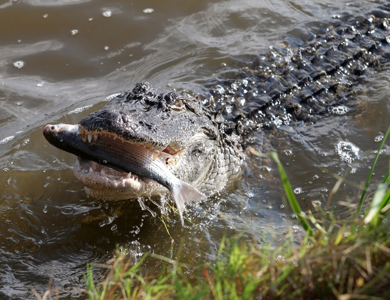 Alligators Big Dinner
