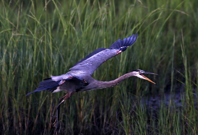 GBH Landing in Salt Marsh