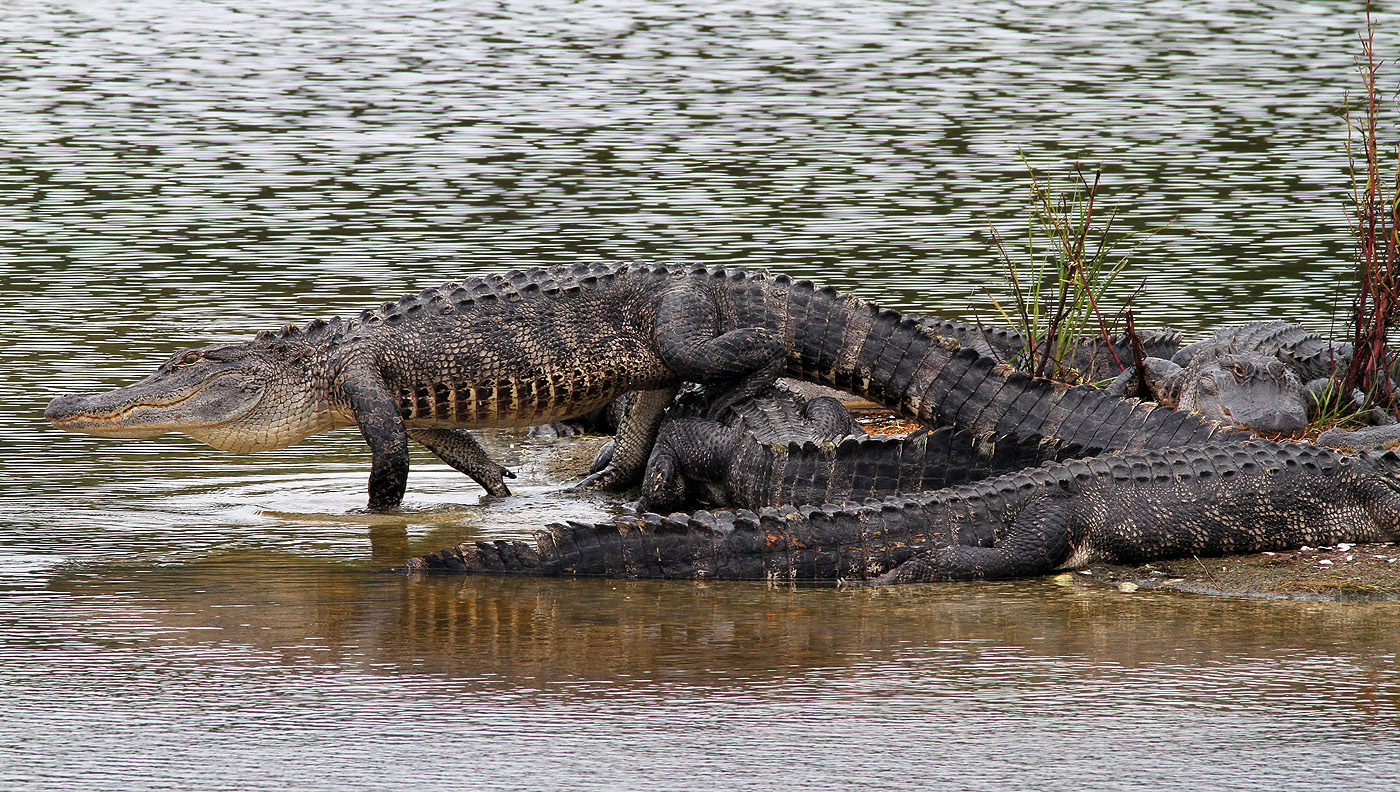 Group Of Alligators 118