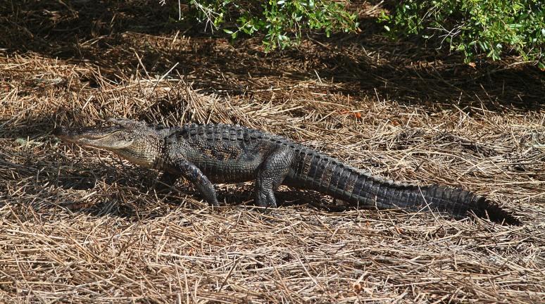 Mr Alligator