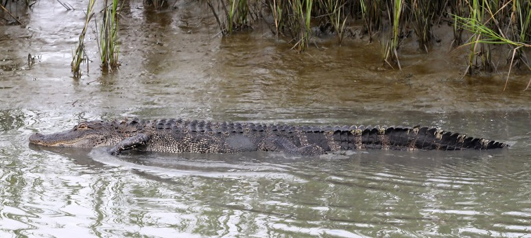 Mr Alligators Evening Stroll