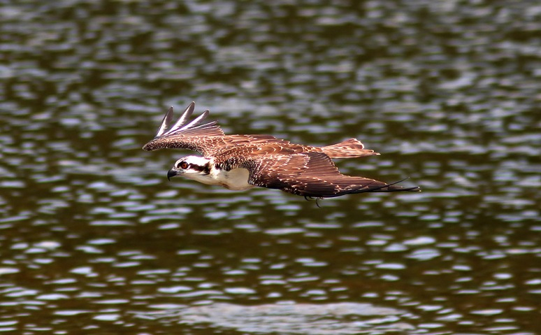 Osprey Fishing in Marsh Pond