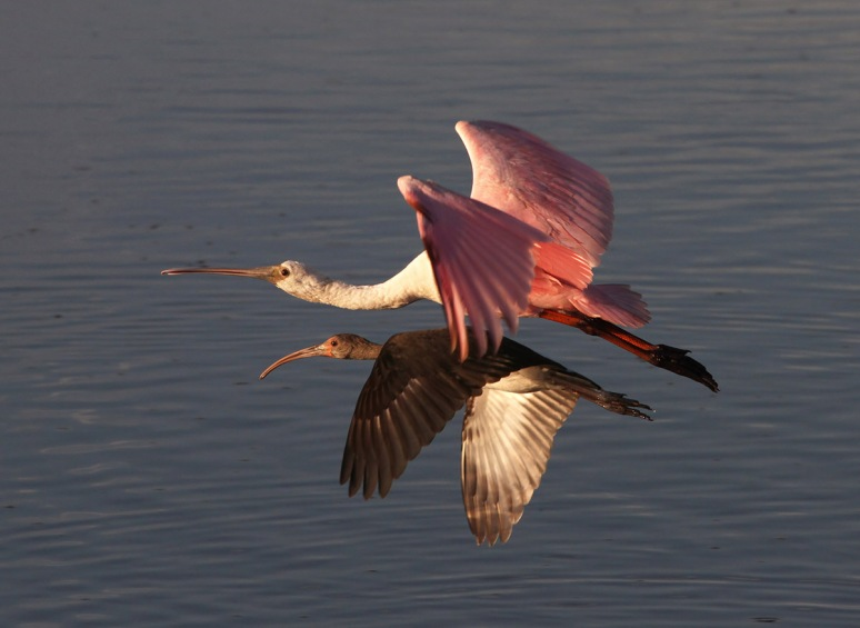 Spoonbill and Friends