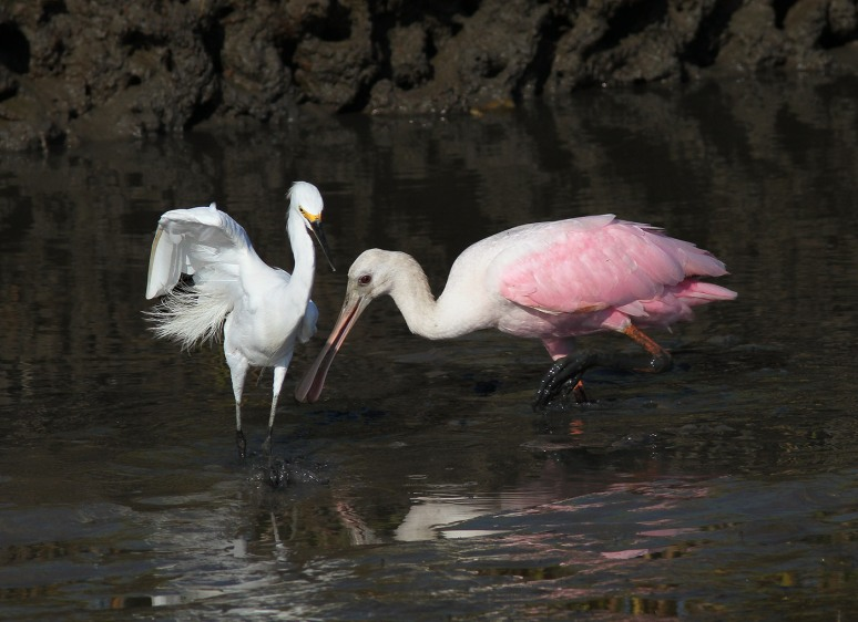 Spoonbill and Snowy in the Salt Marsh