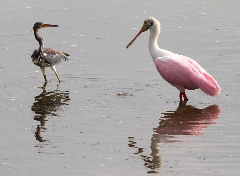 Spoonbill and Tricolored Heron Disagreement