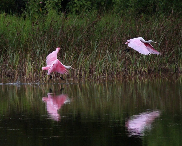 Spoonbill Chases Juvie Across Pond