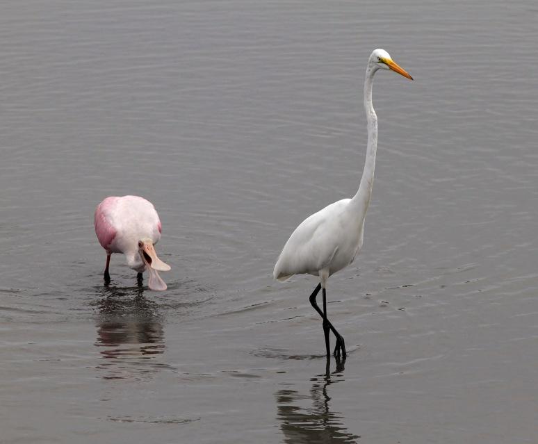Spoonbill Feeding in the Salt Marsh