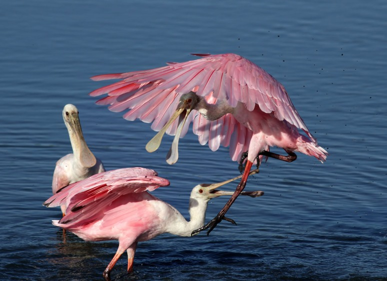 Spoonbill Fight