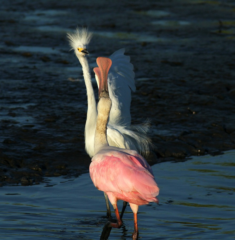 Spoonbill Fights with Snowy
