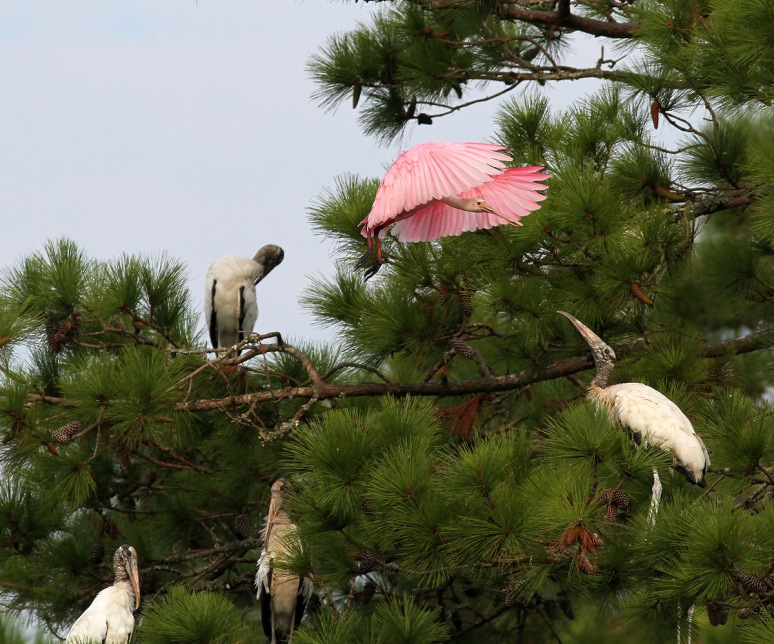 Spoonbill Flies Into Pine Tree